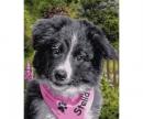 schipper Border Collie Puppy Malen nach Zahlen